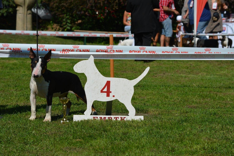 Tata - Bull Terrier Club Show