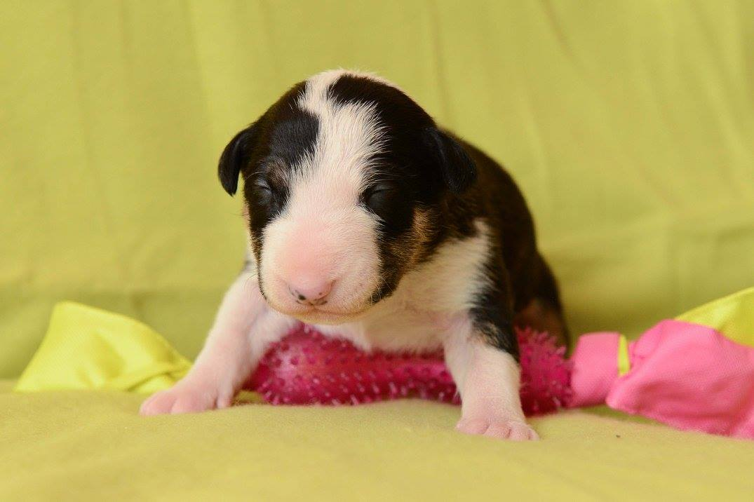 FAMILY SONG´S Xperia (Citrom) - English Bull Terrier