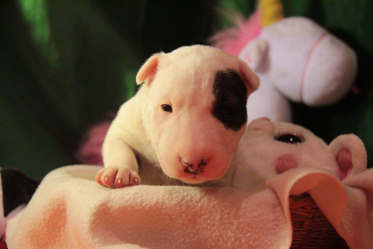 Mandy von Hunnen-König (Mandy) - Miniature English Bull Terrier